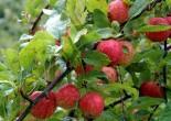 Beskära fruktträd – när och hur?